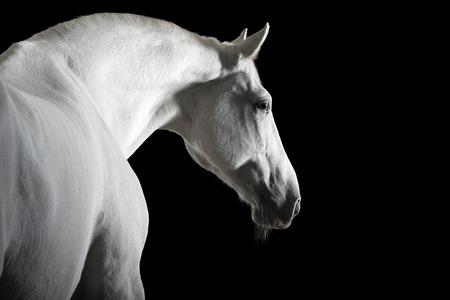 caballo negro: Retrato del caballo blanco en la oscuridad