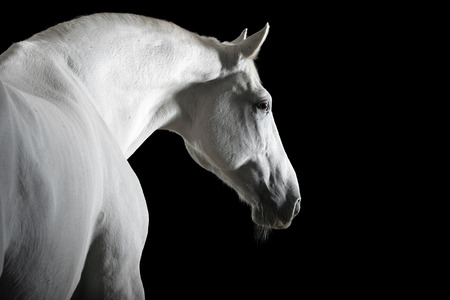 draft horse: white horse portrait in the darkness