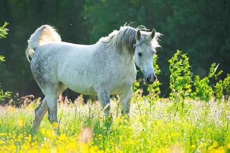 Witte Arabische paard in de zonsondergang verlichting Stockfoto