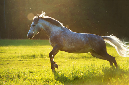 trotter: White horse Orlov trotter play in the sunset light
