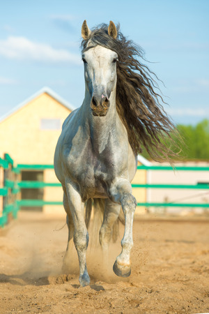 andalusian: White Andalusian horse portrait