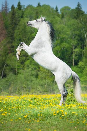 rearing: White horse rearing up
