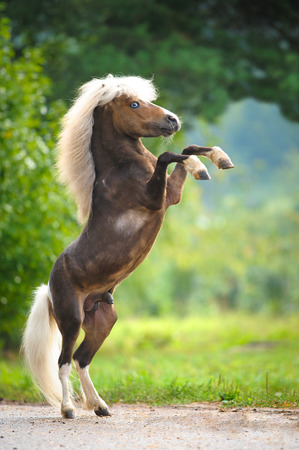 American Miniature Horse rearing up, summer