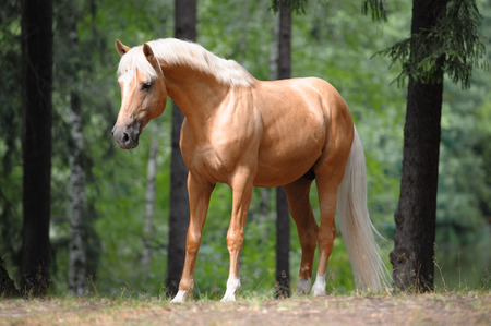 beautiful palomino horse stands in the meadow in forest Stock Photo