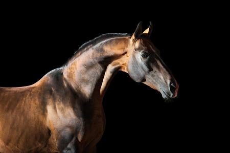 Portrait of the golden bay Akhal-teke horse on the dark background