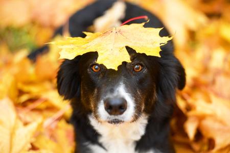 Black border collie dog and maple leaf, autumn