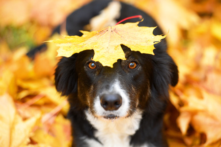Black border collie dog and maple leaf, autumn