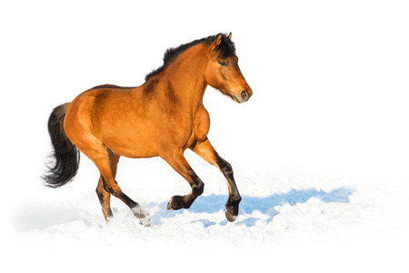 Bay horse runs gallop in winter, white background photo