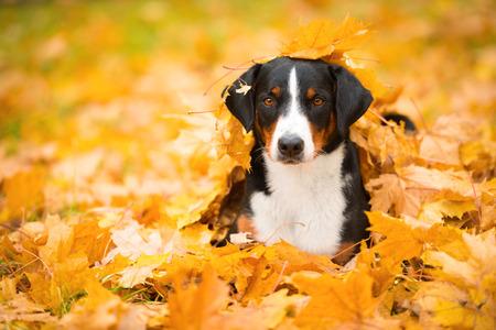 mountain dog: Beautiful Appenzeller Sennenhunde in the autumn Stock Photo