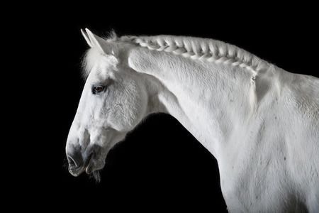 White horse on the black background