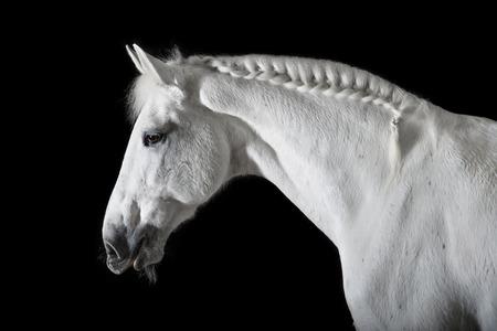Witte paard op de zwarte achtergrond