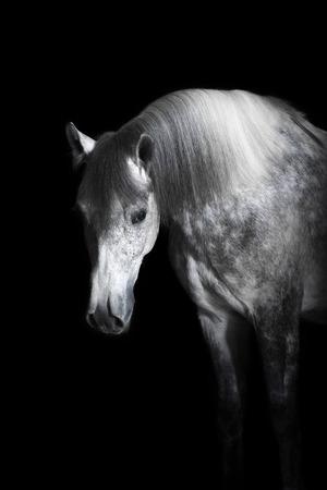 gray horse: Grey Orlov trotter horse on the black background Stock Photo