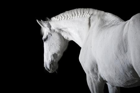 caballos negros: Caballo blanco sobre el fondo negro