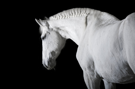 black and white farm: White horse on the black background