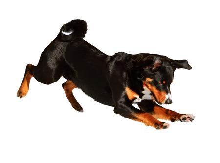 appenzeller: sennenhund Appenzeller plaing, tricolor dog isolated on white