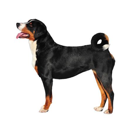 appenzeller: Sennenhund Appenzeller tricolor dog isolated on white