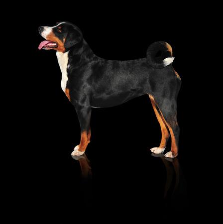 sennenhund: Sennenhund Appenzeller cane tricolore isolato su fondo nero