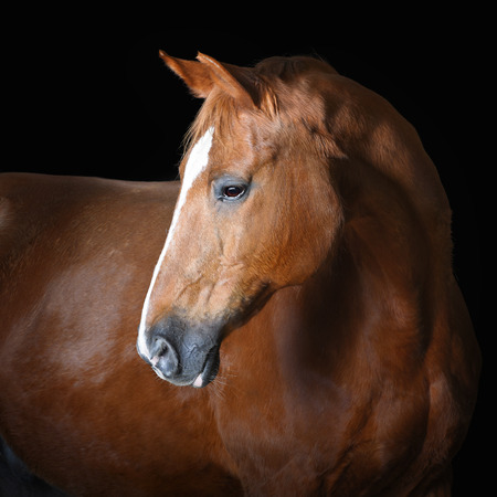 head of animal: Portrait of red horse on the black background