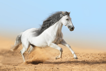 White Andalusian horse runs in dust Stock Photo