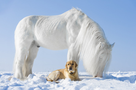 shire horse: White horse and golden dog in winter