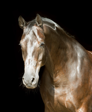 Brown horse on the black background Stock Photo