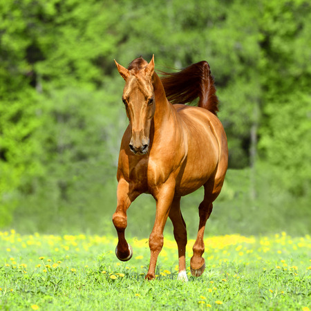 Golden red horse runs trot free in summer time photo