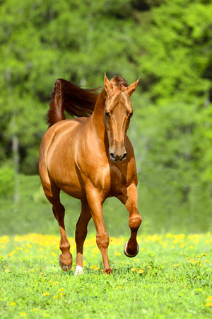 red horse: Golden red horse runs trot in summer time Stock Photo