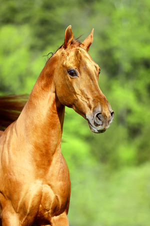 red horse: Golden red horse portrait in summer