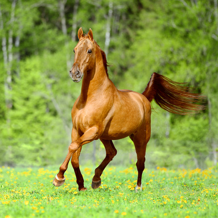 trot: Golden red horse runs trot free in summer time