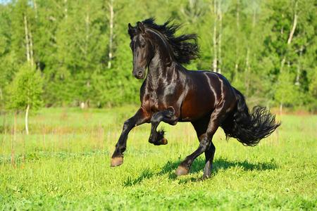 friesian: Black Friesian horse runs gallop in summer time