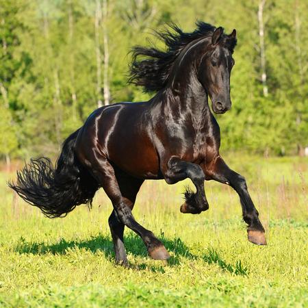 Black Friesian horse runs gallop in summer time Stock Photo - 39369006