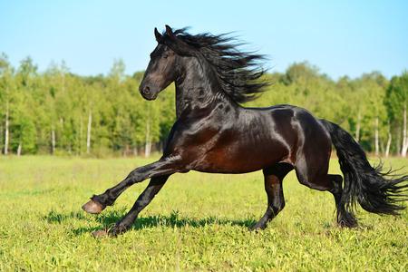 Czarny koń biegnie galop fryzyjskiej w okresie letnim