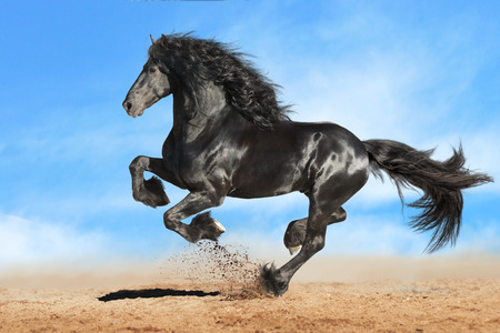 Running gallop Frisian black horse Stock Photo - 39369008