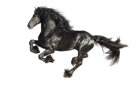 実行、白で隔離される黒いフリジア語馬をギャロップします。