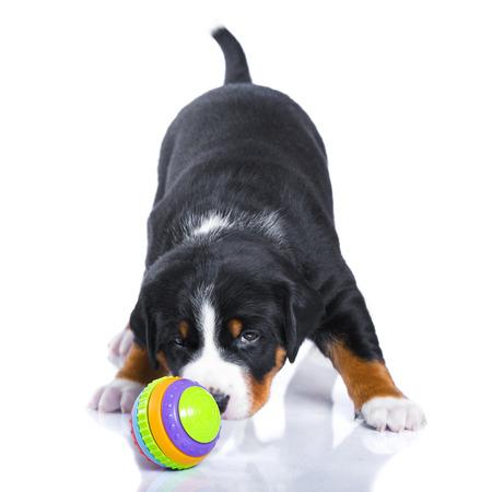 appenzeller: Onemonth puppy Appenzeller Sennenhund isolated on white
