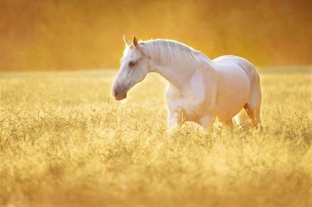 Blanc Orlov trotter le cheval dans le seigle, coucher de soleil doré Banque d'images - 40217317