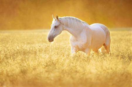 red horse: White Orlov trotter horse in rye, golden sunset