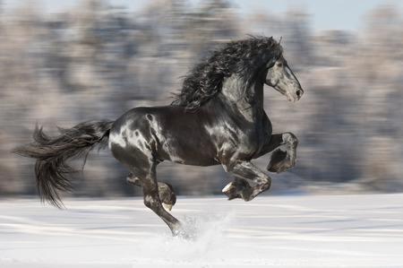 horse in snow: Black Friesian horse runs gallop on the blurred winter background