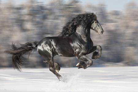 friesian: Black Friesian horse runs gallop on the blurred winter background