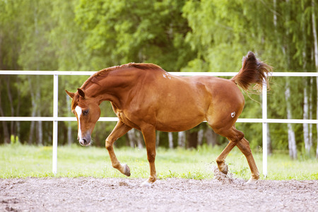 trotting: Red Trakehner horse runs trot on the nature background Stock Photo