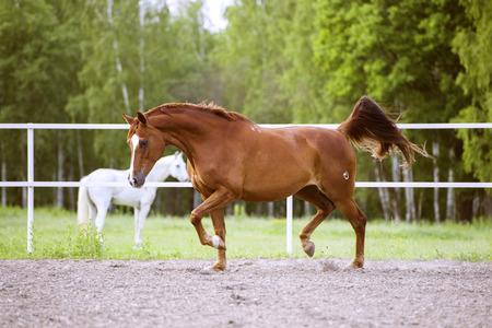 trakehner: Red Trakehner horse runs trot on the nature background Stock Photo