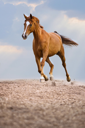 trot: Red horse runs trot on the sky background