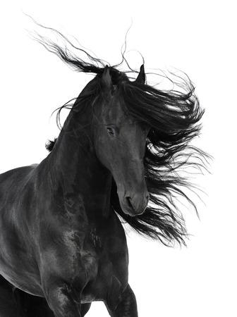 caballo negro: Caballo negro frisio, aislado en el blanco