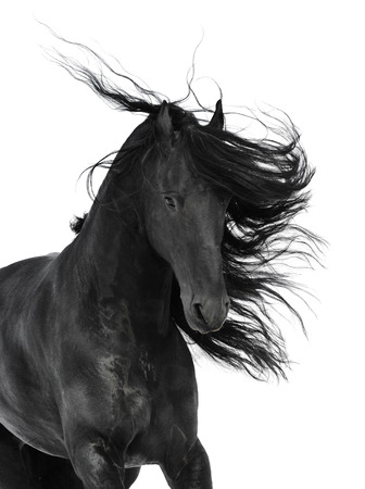 black eyes: Friesian black horse, isolated on the white