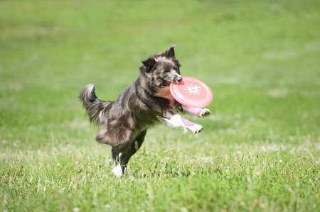 frisbee: Frisbee dog with flying disk