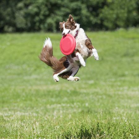 mosca: perro con el disco volador Foto de archivo