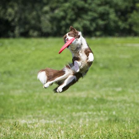 morenas: perro con el disco volador Foto de archivo