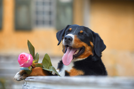 sennenhund: Sennenhund Appenzeller tricolor dog with rose