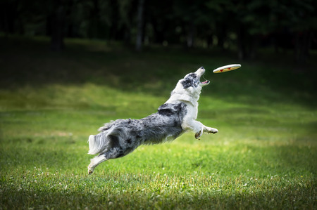 Frisbee dog with flying disk
