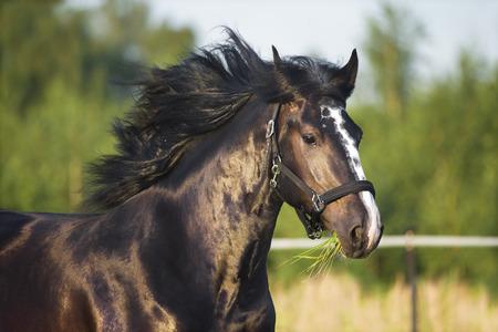 draft: Heavy Vladimir draft horse runs gallop